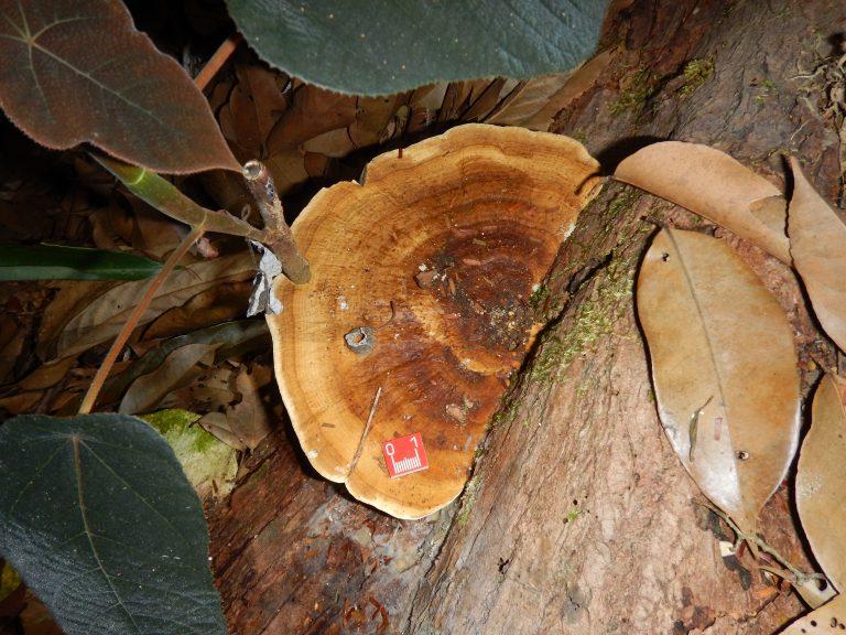 large tropical fungi