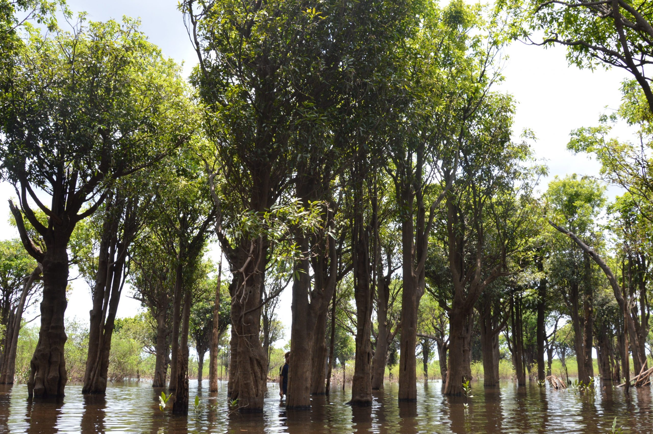 Healthy floodplain trees of the igapó forest are submerged in the shallow water of the Jaú River.