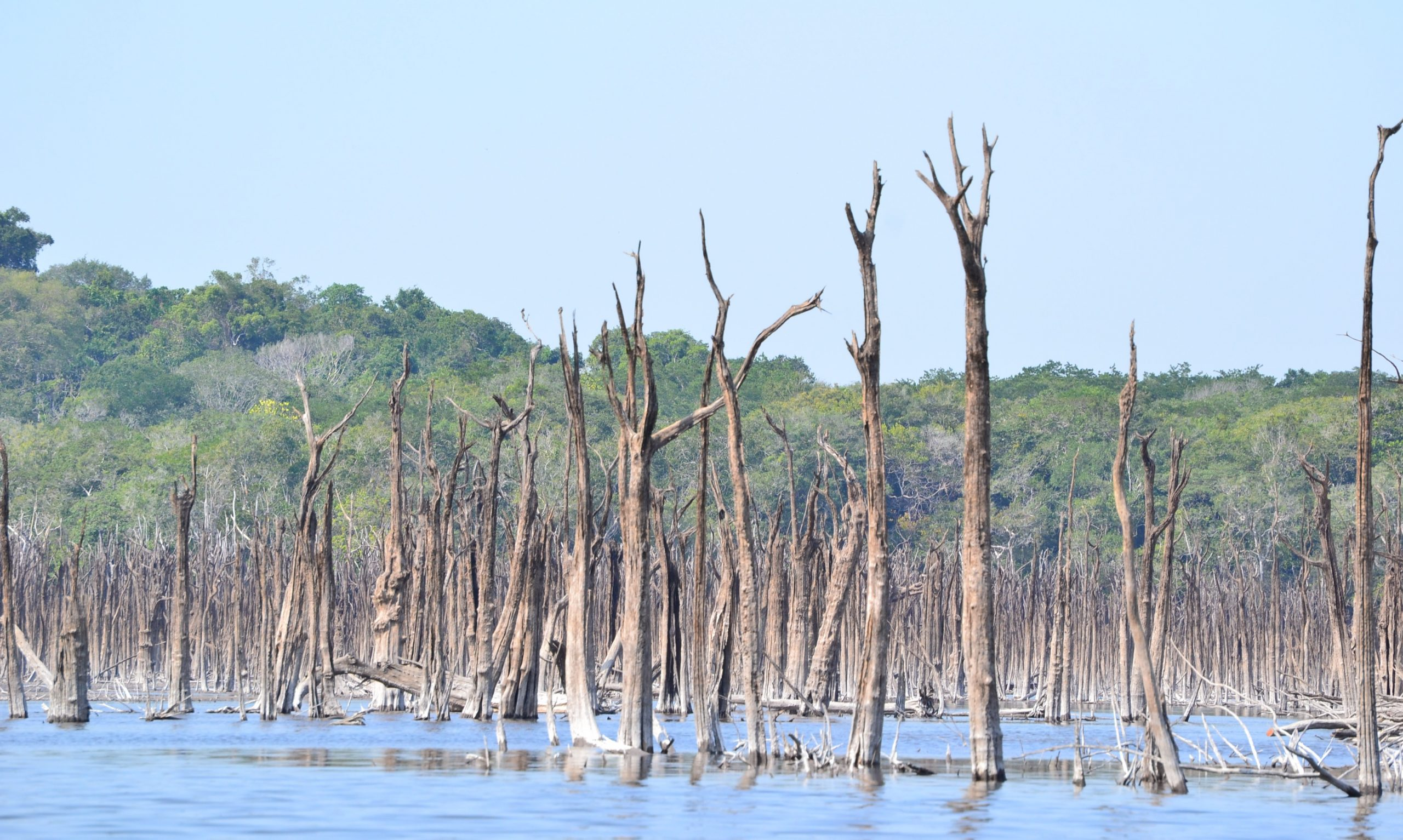 Many igapó forest along the Uatumã have died, leaving lots of dead tree stems behind in the shallow water.