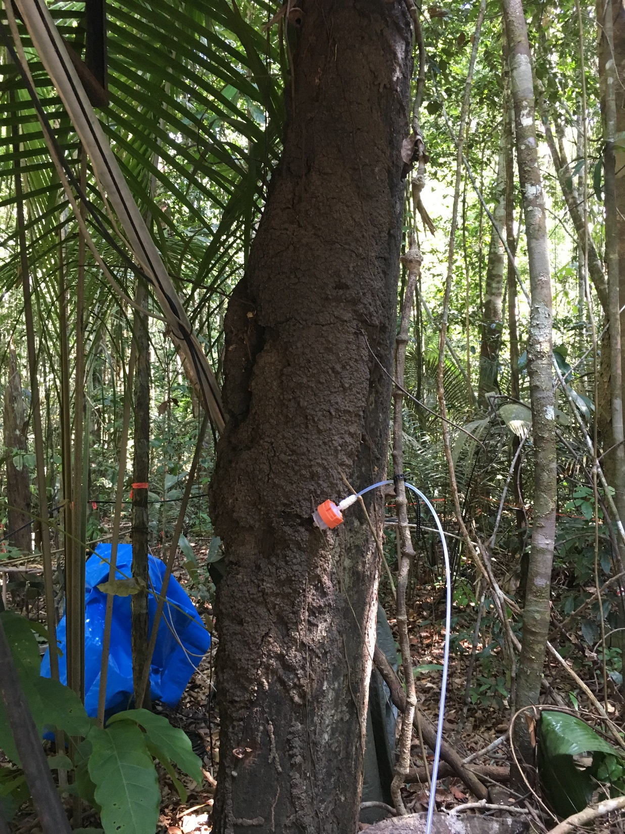 measuring BVOC emissions from termite nests on trees.