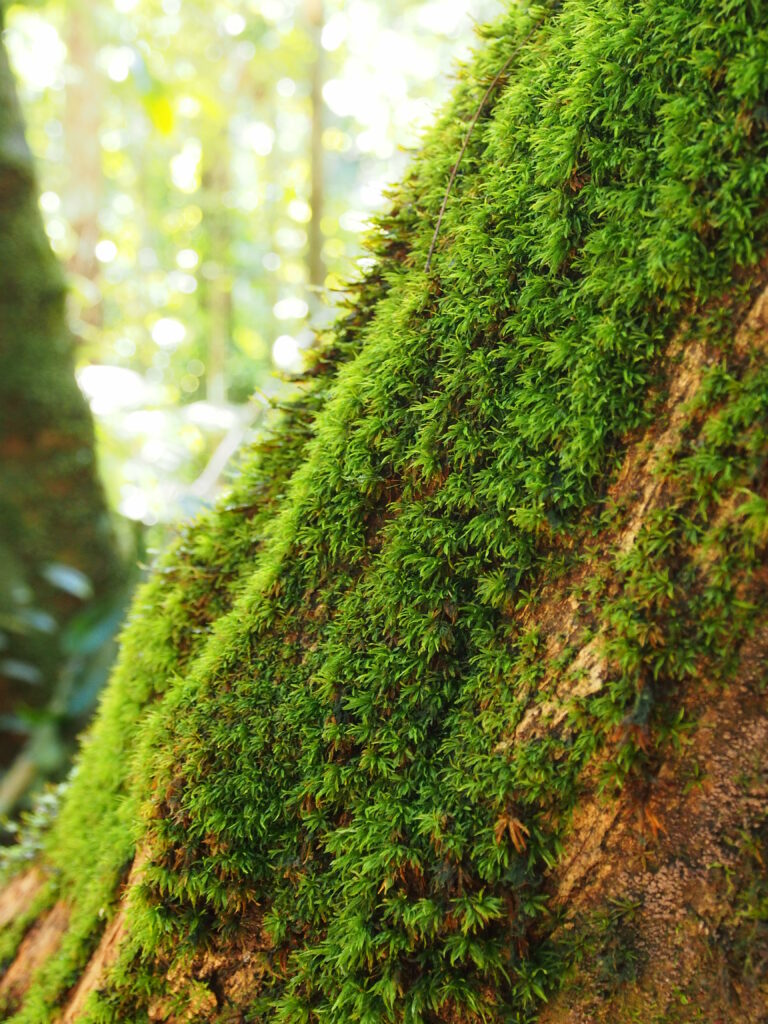 Growing on a tree trunk at the forest floor is Leucobryum martianum, one the tropical mosses studied for their microclimatic requirements. © Michael Welling / MPI-C