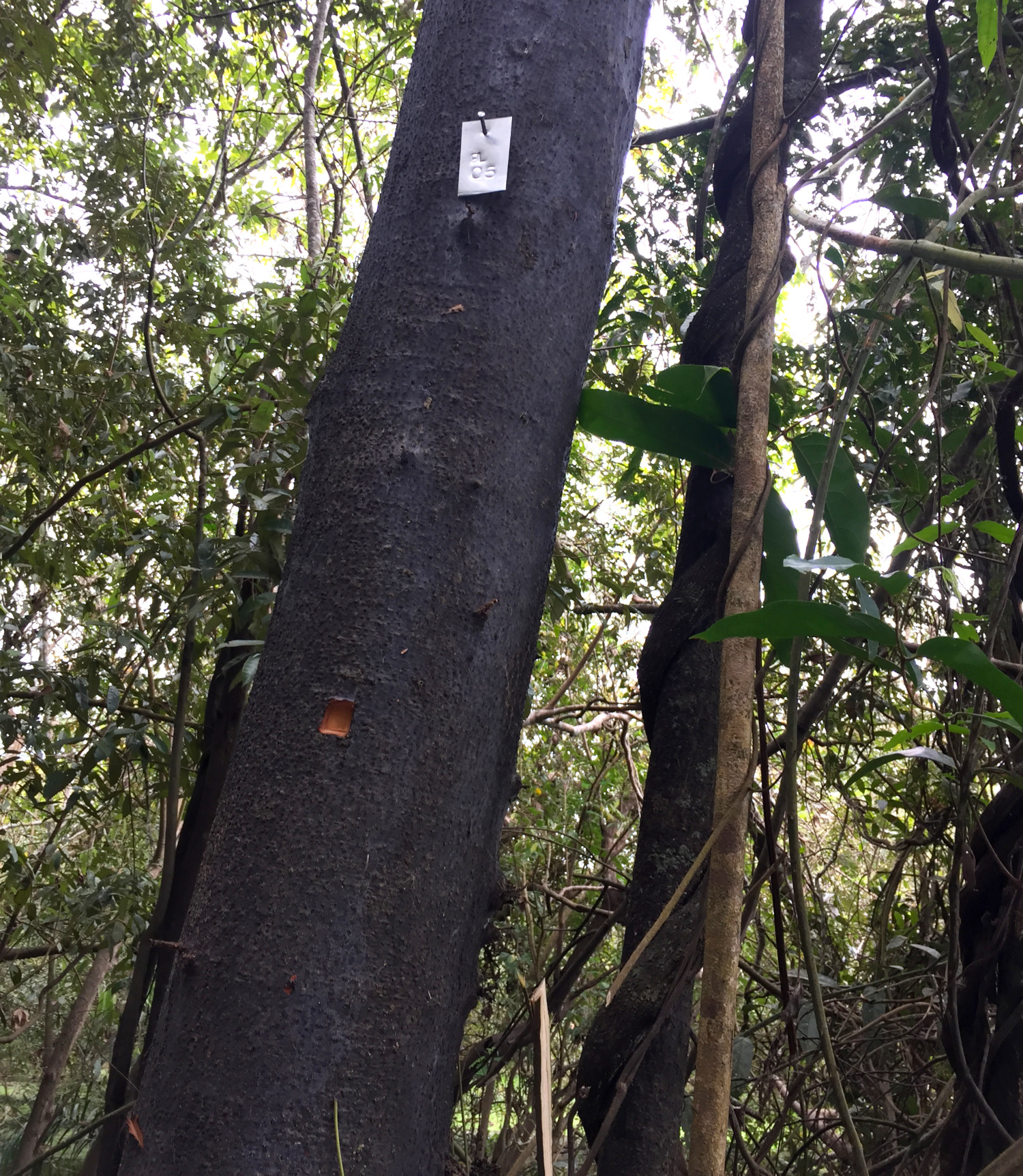 One of the Nectandra trees that the scientists analyzed tree rings from. © Flavia Durgante / KIT