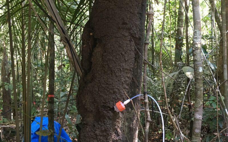 Medição das emissões de BVOC dos ninhos de cupins nas árvores. © Nora Zannoni / MPI-C