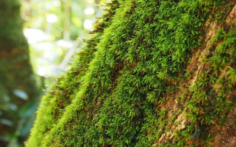 O cultivo em um tronco de árvore no chão da floresta é Leucobryum martianum, um dos musgos tropicais estudados para suas exigências microclimáticas. © Michael Welling / MPI-C